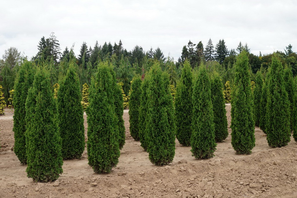 Thuja_occidentalis_Degroots_Spire_(1)_1.JPG
