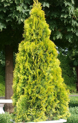 Thuja-occidentalis-Golden-Smaragd-.jpg