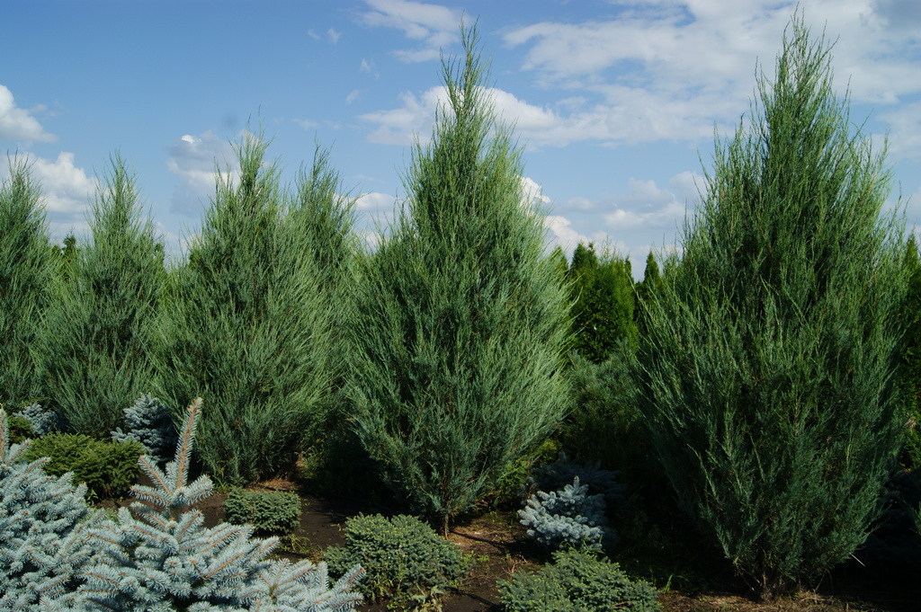Juniperus scopulorum `Skyrocket`_2.JPG