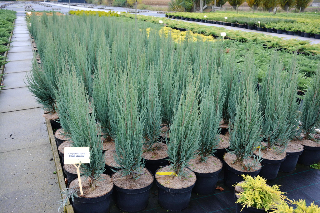 Juniperus scopulorum `Blue Arrow`_1.JPG