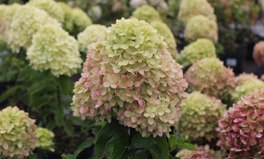 Hydrangea paniculata `Little Lime` (`Jane`) (6).JPG