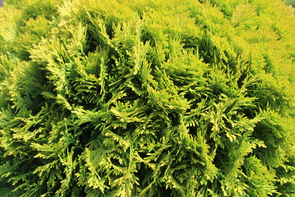 Thuja occidentalis `Mirjam`_С35 (33).JPG
