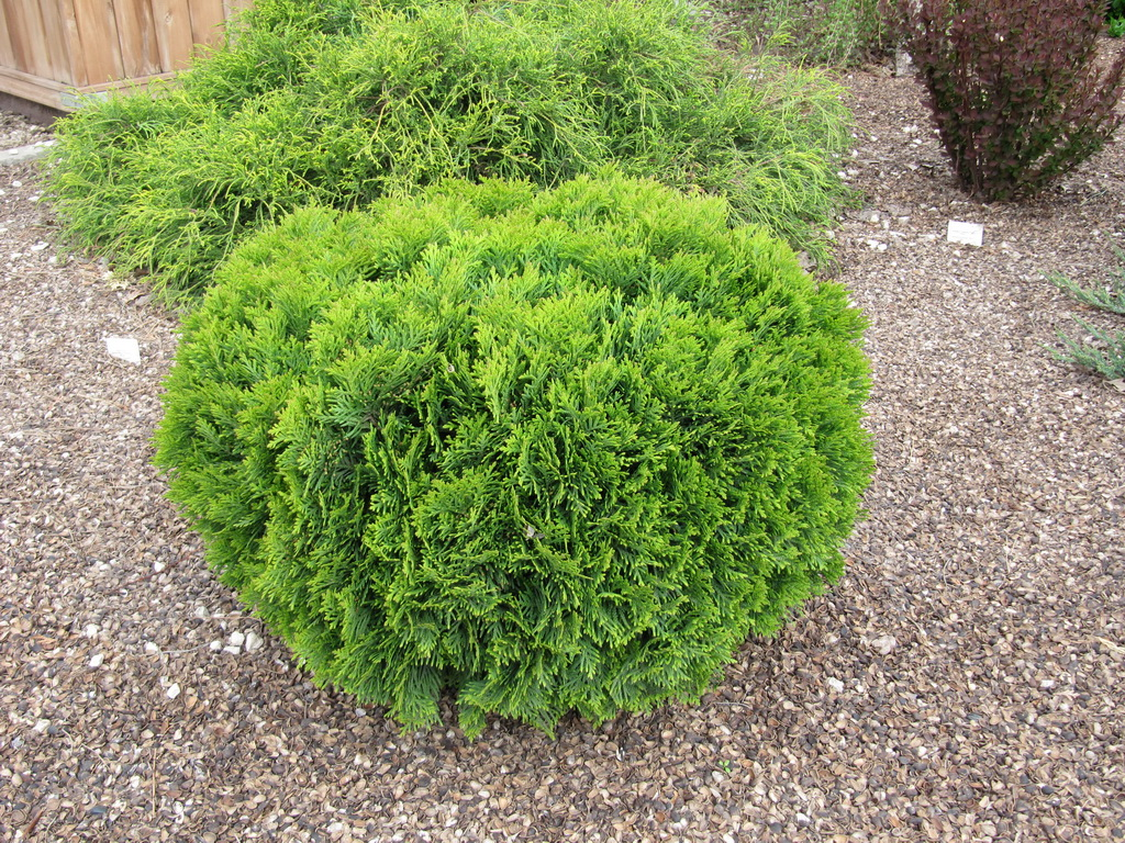 Thuja occidentalis `Danica Aurea`_4.JPG