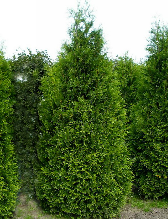 Thuja occidentalis `King of Brabant` 2.jpg