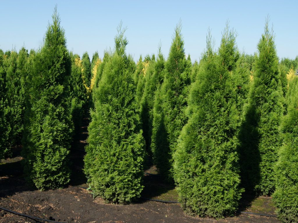 Thuja occidentalis `Smaragd`_4.JPG