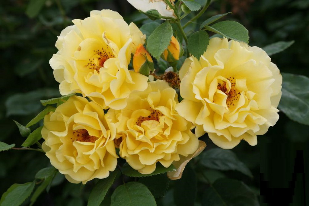 Rosa (CI) `Golden Gate`.jpg